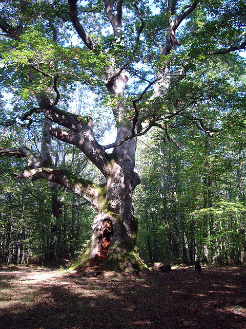 le chêne des maitres sonneurs