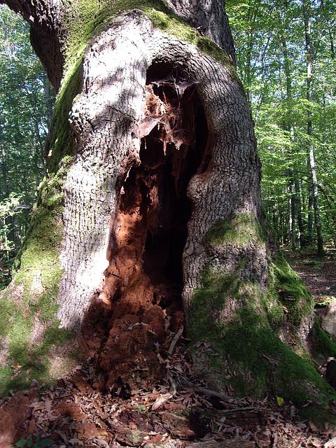 grande plaie béante de l'arbre