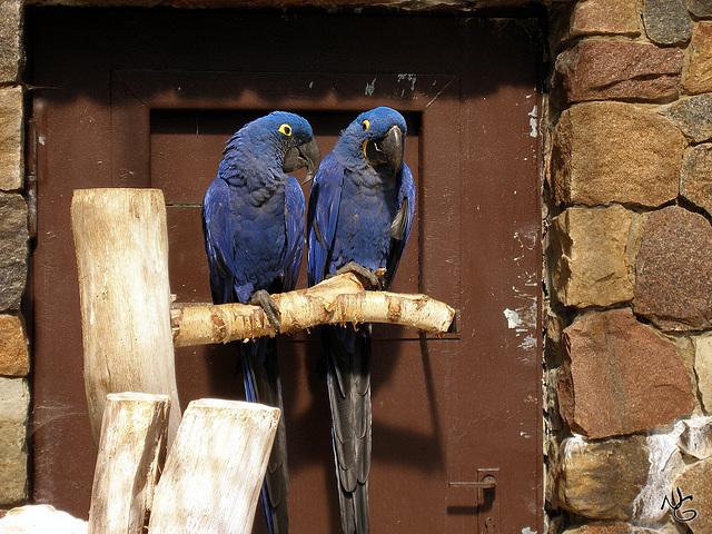 Blue Love - Hyazinth Ara