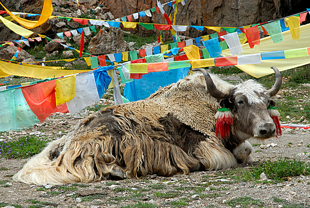 Yak bull nearby the Namtso Lake Tibet
