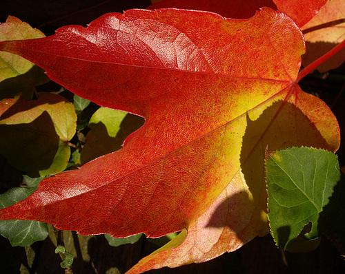 Efeu / ivy