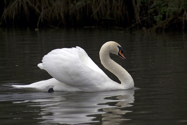 The cygne