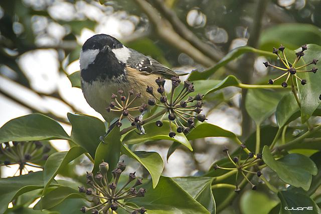Carbonero Garrapinos (Parus ater)