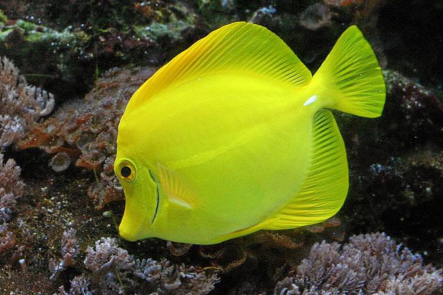 Gelber Segeldoktorfisch/Yellow Tang