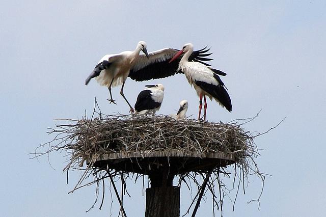 Familie Storch / Family Stork