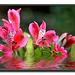 Waterlilie
