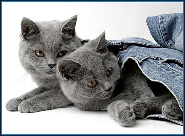 Chats Bleu Russe