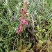 Orchis sancta