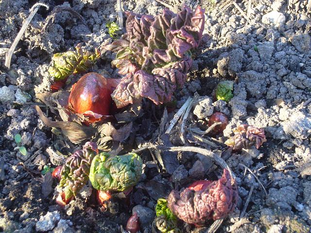 Rhabarber - rhubarbe - pieplant