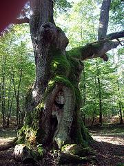 le chêne arbre des maitres sonneurs