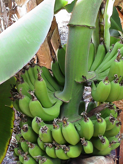Cyprus, Paphos, Bananas