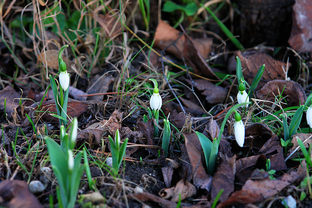 Snowdrops on January 13th, 2007