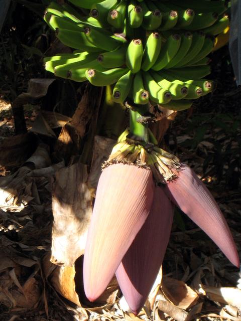 IMG 1749 ohne geht es nicht - Bananen