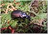 Carabus (Archicarabus) nemoralis