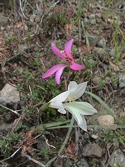 Gladiolus triphyllus