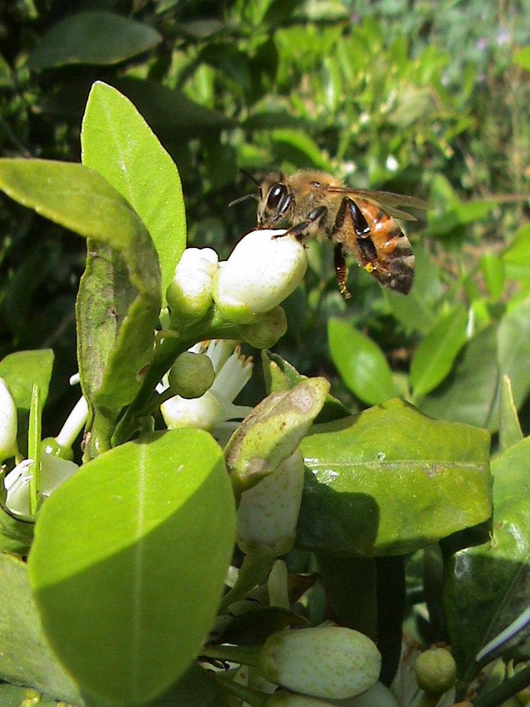 Bee on Citrus sinensis