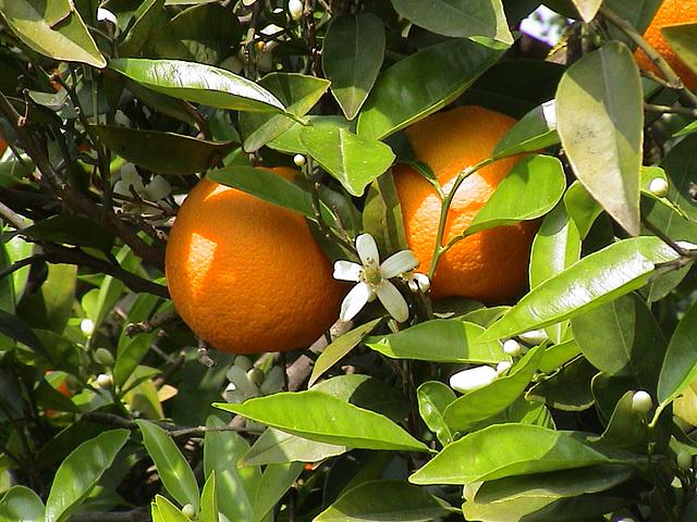 Citrus sinensis - Valencia