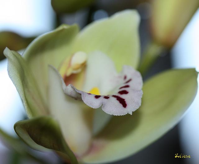 coeur de l'orchidée