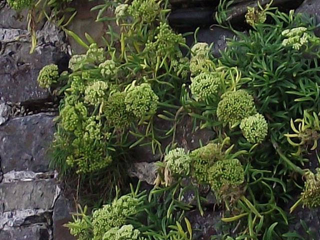 Pom pom flower growth