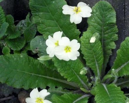 Primroses in full bloom