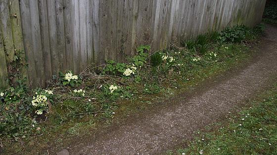 Driveway has more primroses than usual