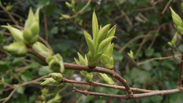 Buds on the lilac trees - has Spring come?
