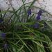 Hyacinth crocus'