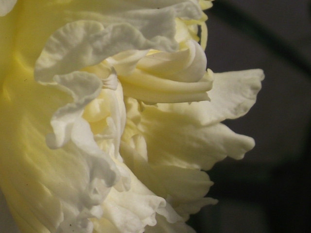 The double headed daffodil