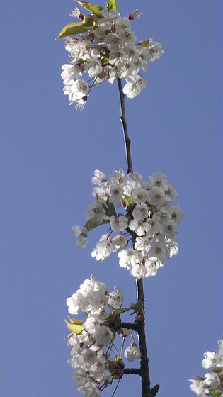 Beautiful cherry blossom of 2012