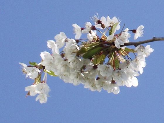 White blossom against the blue sky