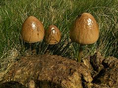 Sch..Pilze 2.JPG