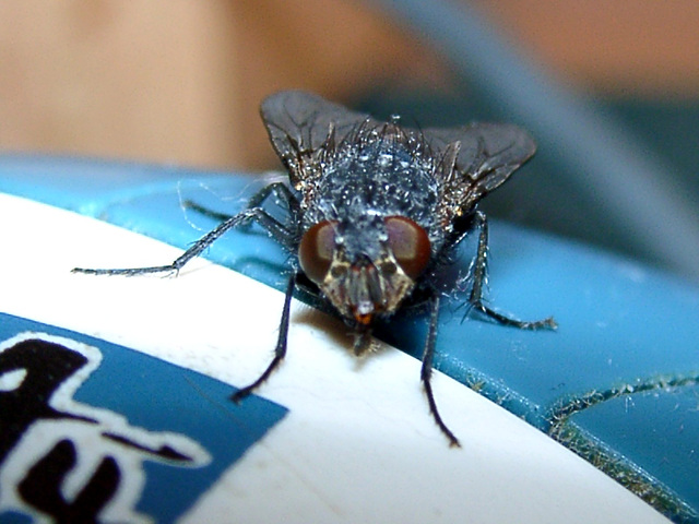 Housefly on a computer-mouse