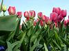 Tulips, taken from ground zero