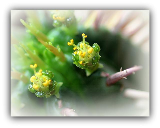 Euphorbia aggregata- fleurs