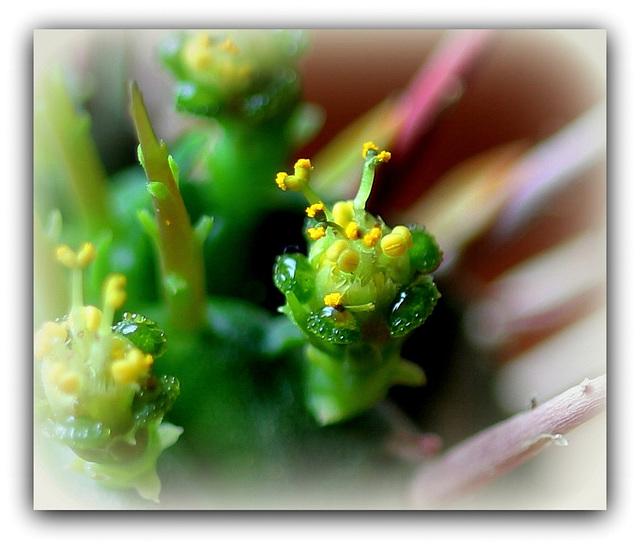 Euphorbia aggregata- Fleur mâle