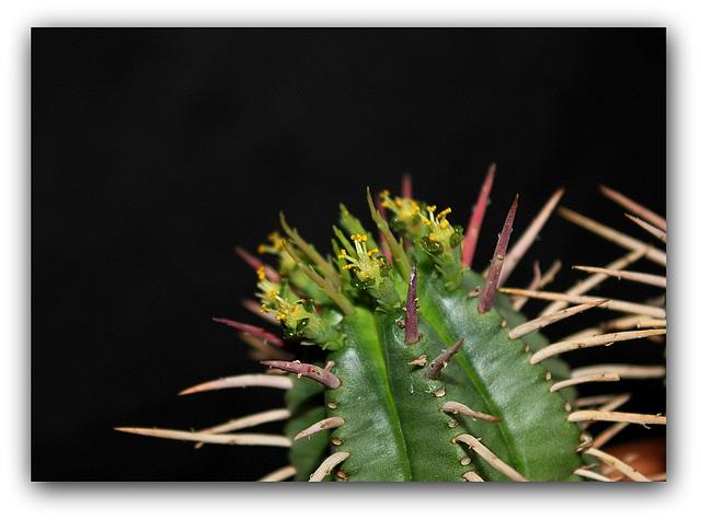 Euphorbia aggregata - Floraison