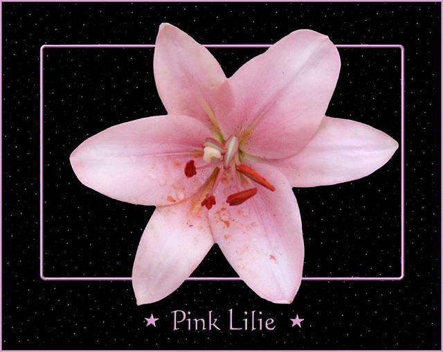 Pink Lilie