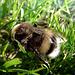 A honeybee in the green