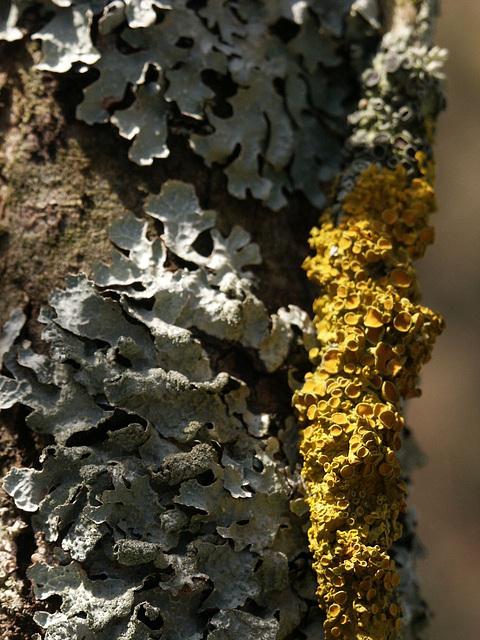 flechte / lichen