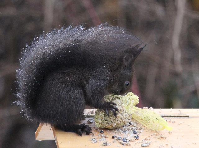 Ecureuil à la mangeoire