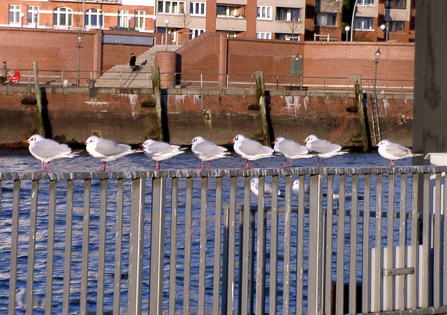 8 Gulls in a row