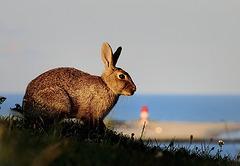 seaside rabbit