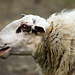 Stupid White... Sheep ;)