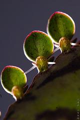 Mutter/Kind-Pflanze
