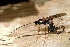 Strange Insect (Ichneumonidae, actually)