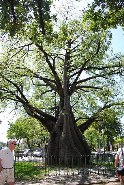 Baobab !!!!à Olinda
