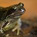 Grasfrosch / Grass Frog