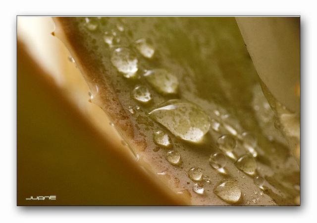 Aloe Vera (macro)