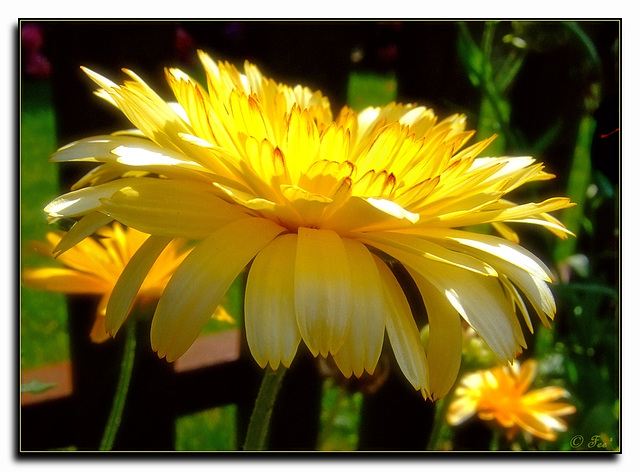 Gelbes Ringelblümchen