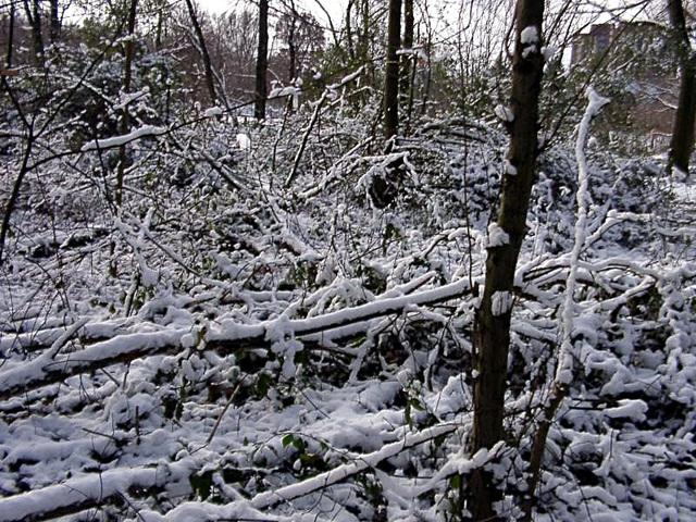 Snowy brushwood